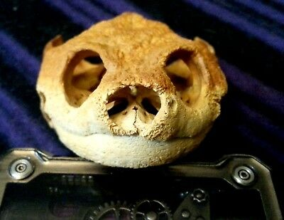 Jumbo Snapping Turtle Skull With Jaw, Wild-Found (Died of Natural Causes)