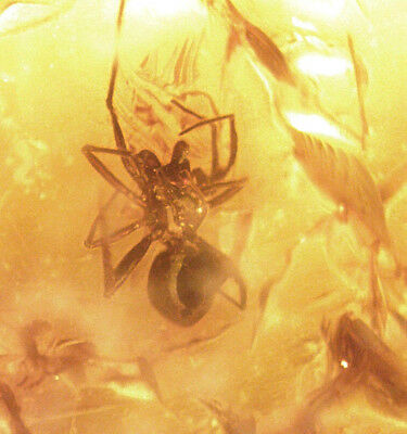 Fossil Spider with Eye Stalks in Baltic Amber