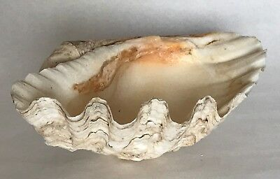 Vintage Clam Shell 11 5/8 Inches Wide