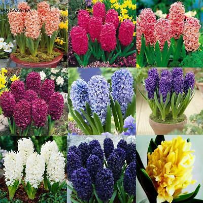 50/100PCS Colorful Hyacinth Flower Seeds Bulb Plants Seed Home Garden s2zl