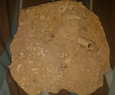 Mortality plate full of Crinoid Segments FOSSIL ROCK Almost a foot in diameter.