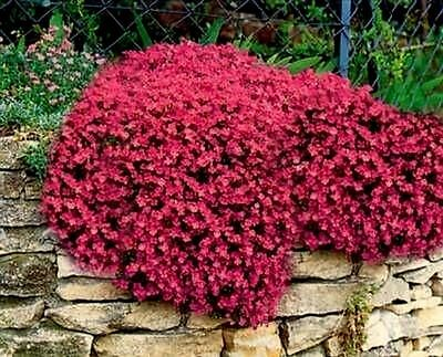 Rock Cress Seeds Cascading Red - Heirloom Groundcover Seeds Perennial 50+ Pack