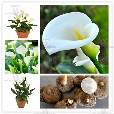 4 Calla Lily Bulbs True White Flower Plant Seeds Roots Rhizomes Home Garden