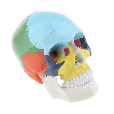 Produkt Anatomisches Schädelmodell, Didactic Color Painted, 3 teilig,