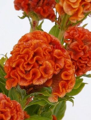 Orange Cockscomb Seeds, Heirloom Seeds, Non-Gmo Annual, Very Unusual Blooms 50ct
