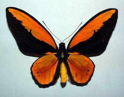 ORNITHOPTERA CROESUS LYDIUS - unmounted butterfly