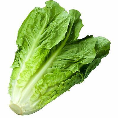 ROMAINE LETTUCE Parris Island Cos 150 Seeds HEIRLOOM vegetable garden ALL SEASON