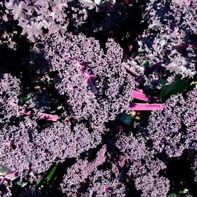 BORECOLE 'KALE RED' 50+ Seeds autumn WINTER SPRING summer EASY Vegetable Garden