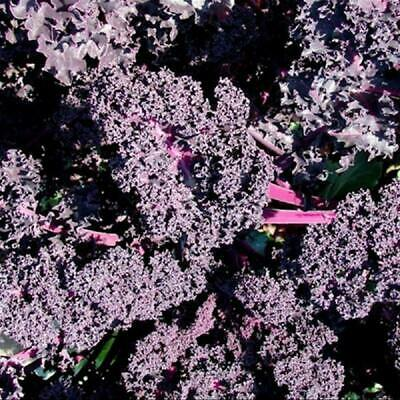 BORECOLE KALE 'Red' 100+ Seeds Heirloom COLD FROST WINTER HARDY Vegetable Garden