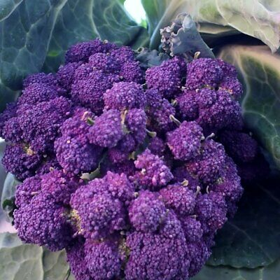 BROCCOLI Purple Sprouting 100 Seeds Heirloom WINTER VEGETABLE GARDEN Frost Hardy