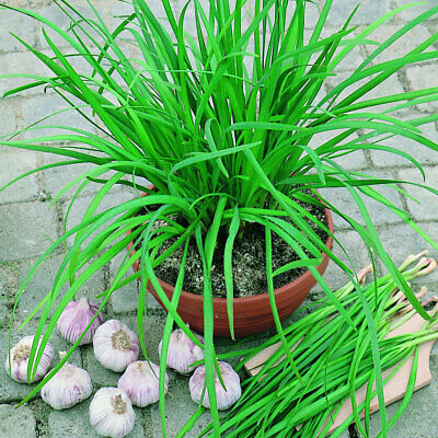GARLIC CHIVES 70+ Seeds CULINARY HERB Vegetable Garden EASY POT GROW Companion