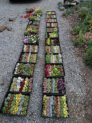 SUCCULENTS -100 DIFFERENT succulent cuttings - INCLUDES MANY RARER TYPES