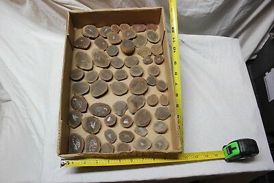 Mazon Creek Fossils Animal Collection Fossil Shrimp Lot #4