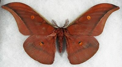 Insect/Moth/ Antheraeopsis tenasserimensis - Male 7""