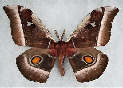 Insect/Moth/ Moth ssp - Male 5 3/4""