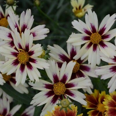 """sun coreopsis STARLIGHT new white red tickseed 2.5"""" pot = 1 Live Potted Plant"""