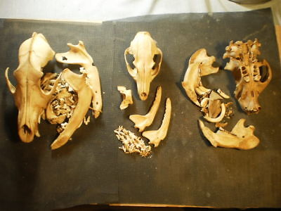 3 Taxidermy SKULLS Coyote Beaver and a perfect grey fox all for one price
