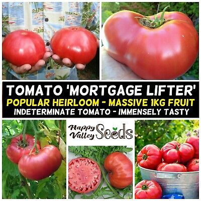 TOMATO Mortgage Lifter 15+ Seeds MASSIVE FRUIT heirloom POPULAR Vegetable Garden