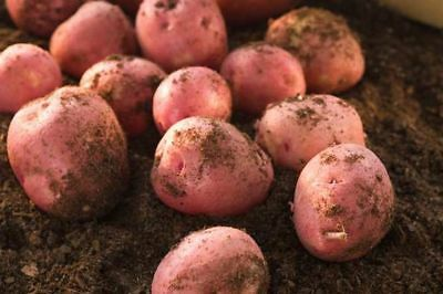 10 Seed Potatoes Rooster Main Crop