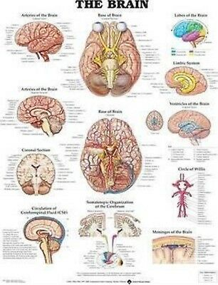The Brain by Anatomical Chart Company Staff (2000, Poster) Laminated