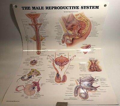 The Male Reproductive System Anatomical Chart Laminated