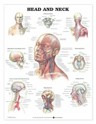 Head And Neck Anatomical Chart Laminated