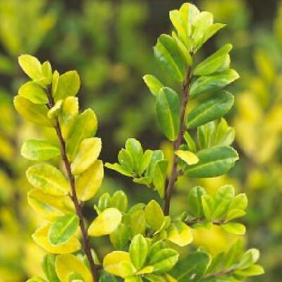Ilex Crenata Golden Gem Evergreen Japanese Holly 10litre