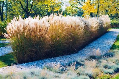 Calamagrostis brachytricha 20 Seeds, Feather Reed Grass - red, pink, silver