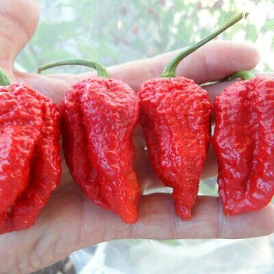 CHILLI Giant Spices Red Spicy Chili Seeds ~ Very LONG PODS UNUSUAL Pepper 10pcs