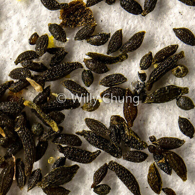 Drosera Mysterious Mix 50s – Carnivorous Plant Sundew Seeds