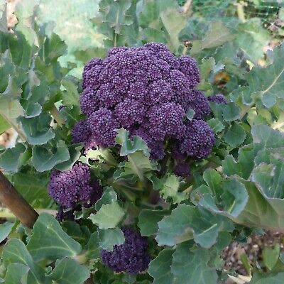 BROCCOLI Purple Sprouting 100 Heirloom Seeds WINTER VEGETABLE GARDEN frost hardy
