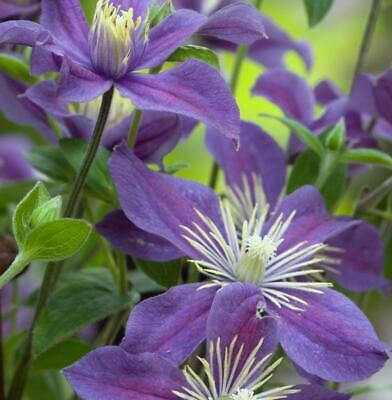 Clematis 'Arabella' Trailing Shrub XXL Supersize Plug Plants Pack x3