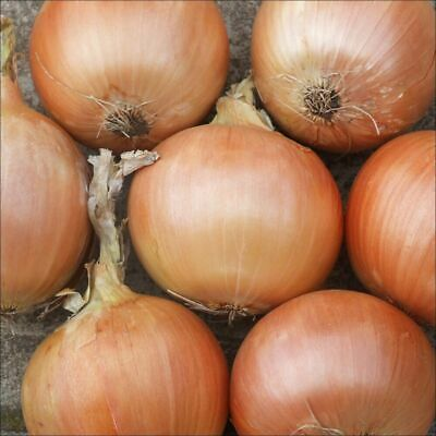 ONION 'Gladalan Brown' 100 Seeds Vegetable Garden HEIRLOOM winter garden POPULAR