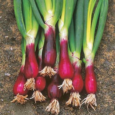 SPRING ONION 'Red' 100+ Seeds HEIRLOOM Vegetable Garden RED STEM winter Shallots