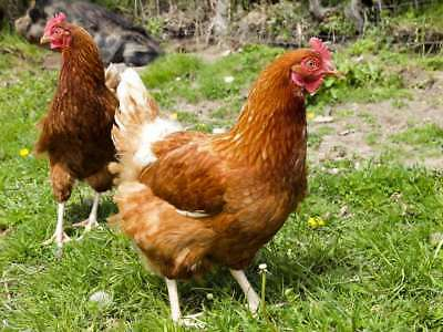188 Chicken & Hen Keeping Books On Dvd - Chickens Poultry Ducks Coop Eggs Breeds