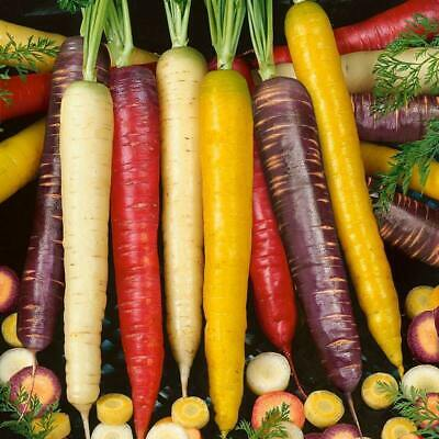CARROT 100 Seeds Heirloom Colour Mix Vegetable Garden Purple Red Yellow Orange