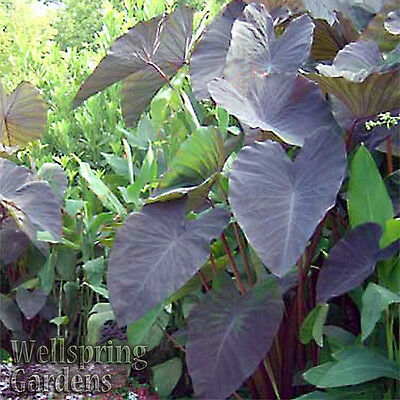 ELEPHANT EAR COLOCASIA ESCULENTA Plant 'BLACK MAGIC' Live Plant Unique specimen
