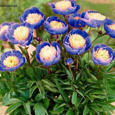 5Pcs Home Garden Ornamental Plant Heirloom Bowl of Beauty Peony Flower s2zl