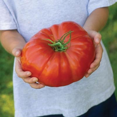 Pack Vegetable Seed Tomato 'Gigantomo' Kings's Seeds