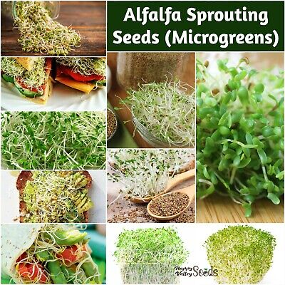 ALFALFA 50g - 2kg Sprouts Seeds Sprout Sprouting *CERTIFIED ORGANIC* MICROGREENS