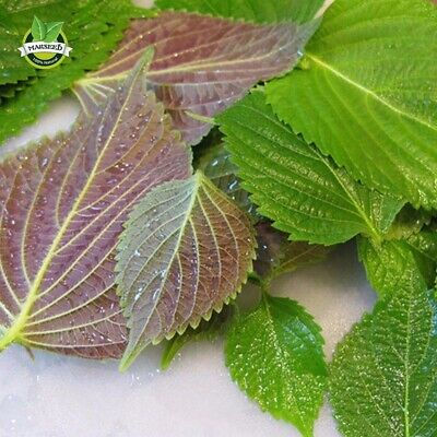 1000 Perilla Herb Seeds Red Leaf Shiso vegetable seeds for planting in pot and g