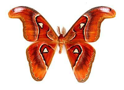 BUTTERFLY/MOTH/MOUNTED Philippine Giant ATTACUS LORQUINI