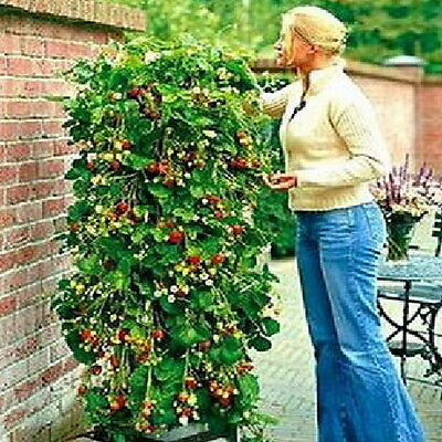 Novelty Fad Red 100 Strawberry Climbing Strawberry Four Season Fruits Seeds JD
