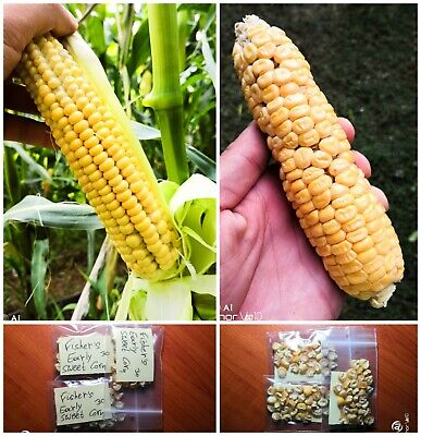 Fisher's Early Sweet Corn ~90 Top Quality Seeds - EXTRA RARE Earliest - NON-GMO