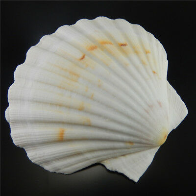 9 -12 cm Natural Seashells Big Scallop Fan Shells Sand Beach Wedding Decoration