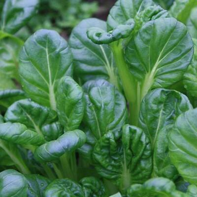 TATSOI 150+ Seeds BABY LEAVES Green Asian Salad AUTUMN WINTER Vegetable Garden