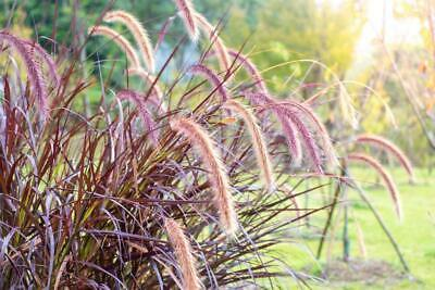 Setaria Italica 'Red Jewel' 30 Seeds - Foxtail Millet or Red Bristle Grass