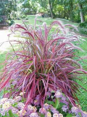 Purple Fountain Grass 15 Seeds, Pennisetum, Millet, Ornamental Grass