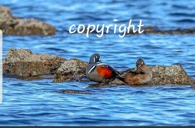 Photo, wallpaper digital picture free worldwide email delivery - Duck