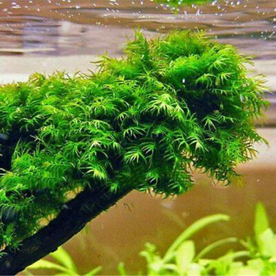 500PCS Pearl Moss Seeds Ornamental Plants Water Grass Live Aquarium Plants New